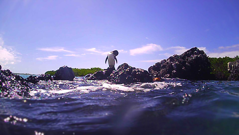 A Galapagos penguin on Tintoreras