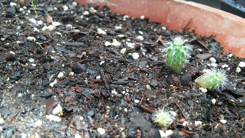 The half-inch cacti grew from surprise dropped seeds. The cold and dry greenhouse allowed them to germinate.