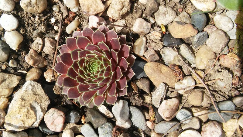 This sempervivum is now in our rock garden outdoors, but it was hardened off in the greenhouse and turned this brilliant shade of purple.